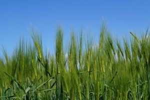 Rohstoffe wie Getreide, die für E10 benötigt werden, wachsen relativ schnell nach.