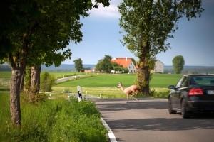 Wildunfälle treten häufig auf Land- und Waldstraßen auf.