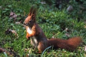 Bei einem Wildunfall mit einem Eichhörnchen zahlt die Versicherung nicht immer.