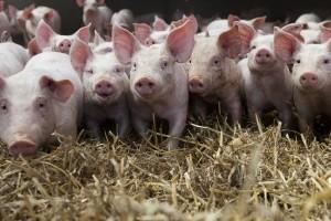 Ein Wildunfall mit Nutztieren ist strenggenommen kein Wildunfall und wird von der Versicherung nicht übernommen.